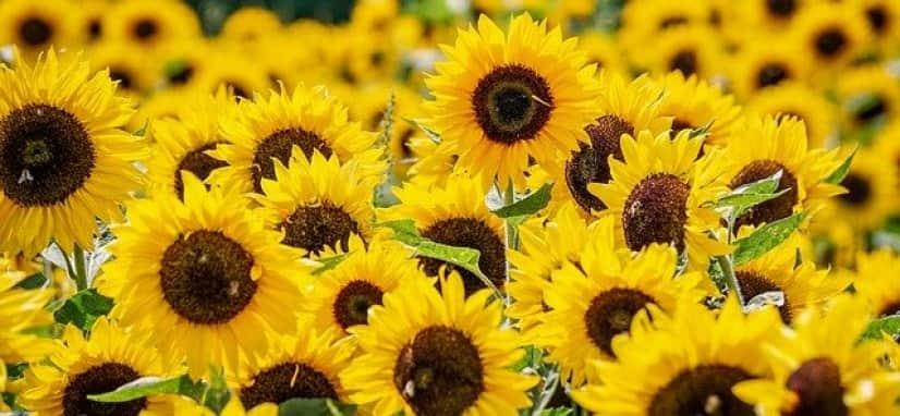 sunflowers-3792914_640