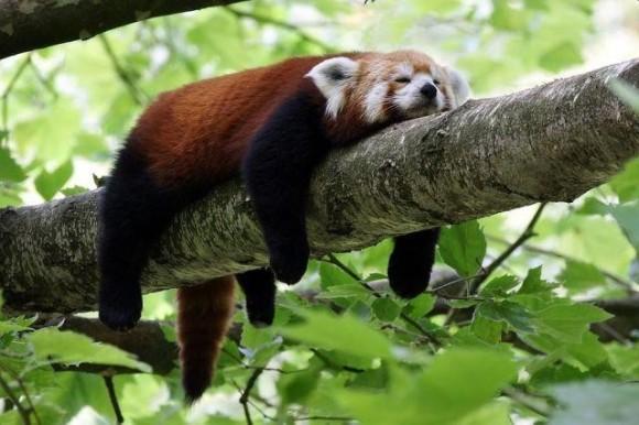 木の上でぐでっとしたレッサーパンダ