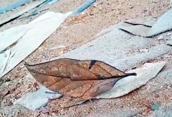 どうみても落ち葉にしか見えないが、羽を広げると色鮮やかな蝶々だった件
