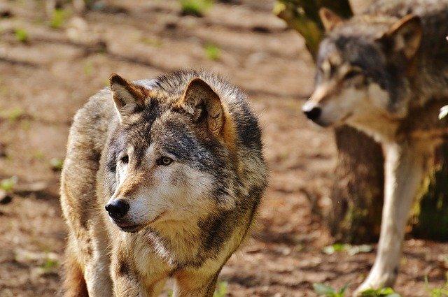 wolf-1350014_640