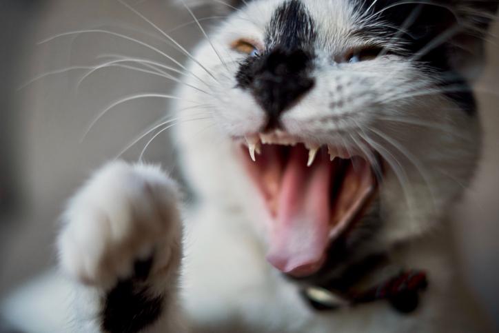 イタリアで猫が狂暴化、ウイルス感染