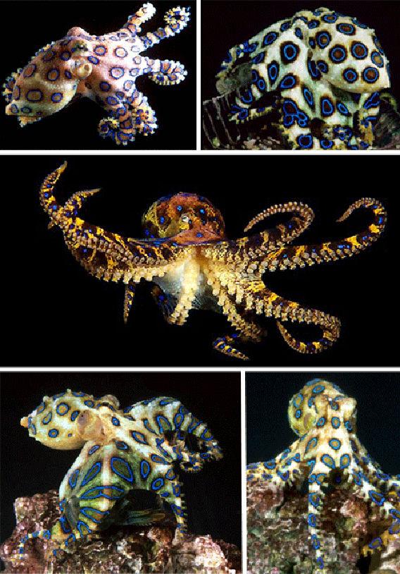 Poisonous-Blue-Octopus
