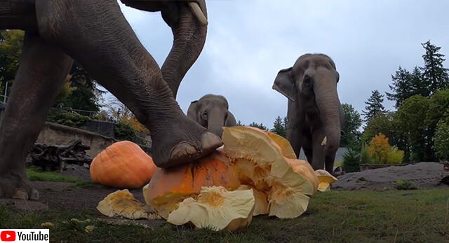 すいか割りなんてもんじゃねぇ!象のかぼちゃ割りが大迫力