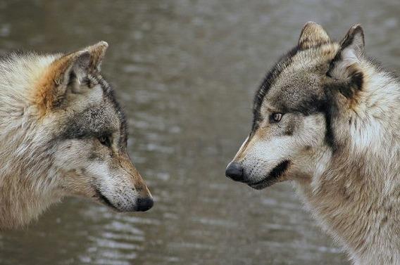 wolf_07