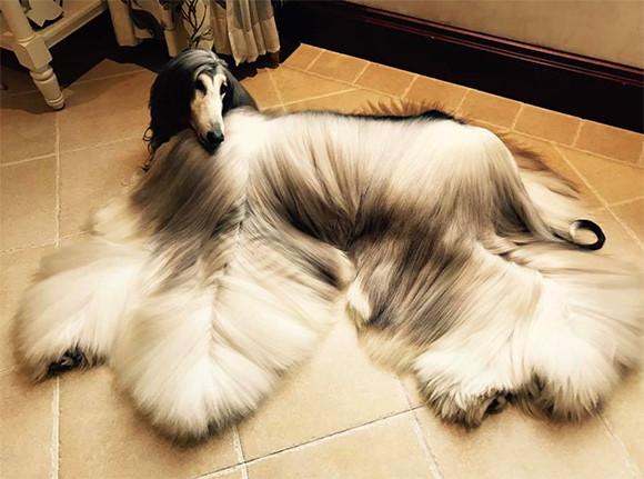 ゴージャス&ファビュラス!サラッサラのロングヘアを持つモデル犬のアフガンハウンド「バトル」