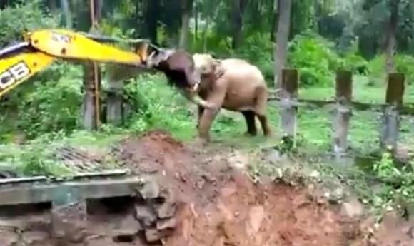 穴に落ちた子供の象、助けてくれたショベルカーに「ありがとう」の気持ちを全身で表現