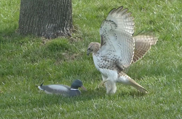 デコイに挑む鷹の混乱