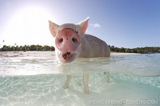 swimming_pigs_03