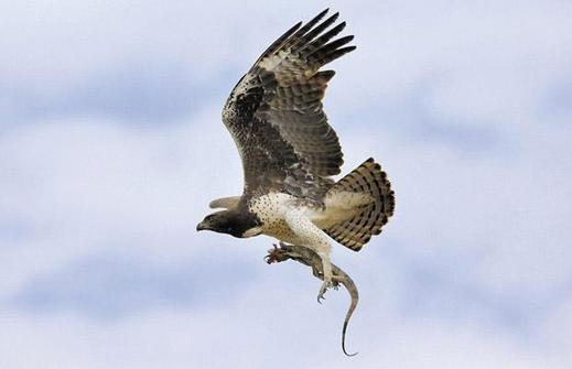 Martial-eagle-wate_1402376i