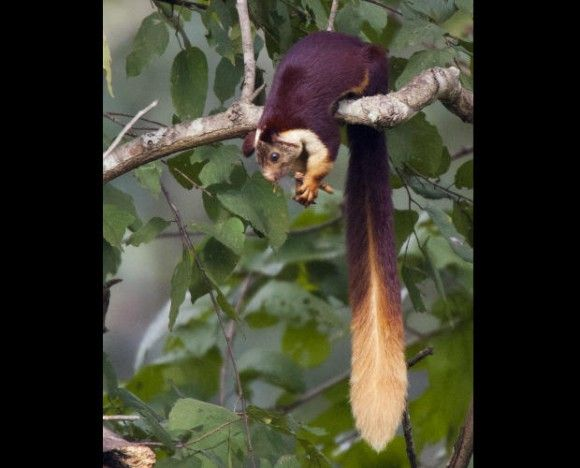 4body_indian_giant_squirrel_e