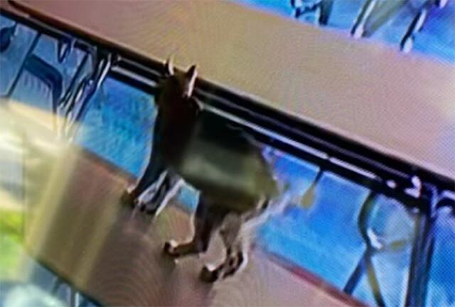 学校内に野生のボブキャットが侵入!と思って捕獲したら飼い猫だった