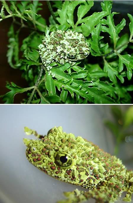 a96745_Vietnamese-frog1