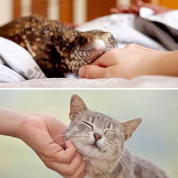 完全に猫化したサバンナオオトカゲ。お姉さんにスリスリしながら甘えてくるよ。