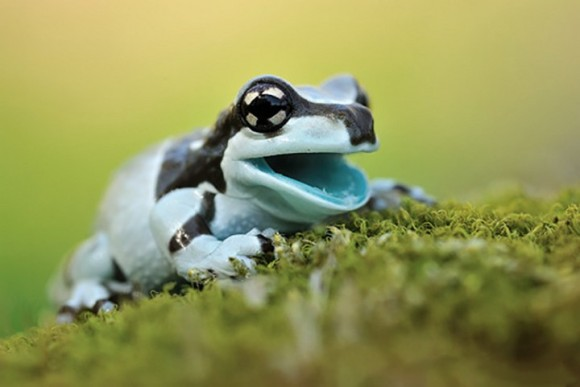 水色の口がかわいいカエル
