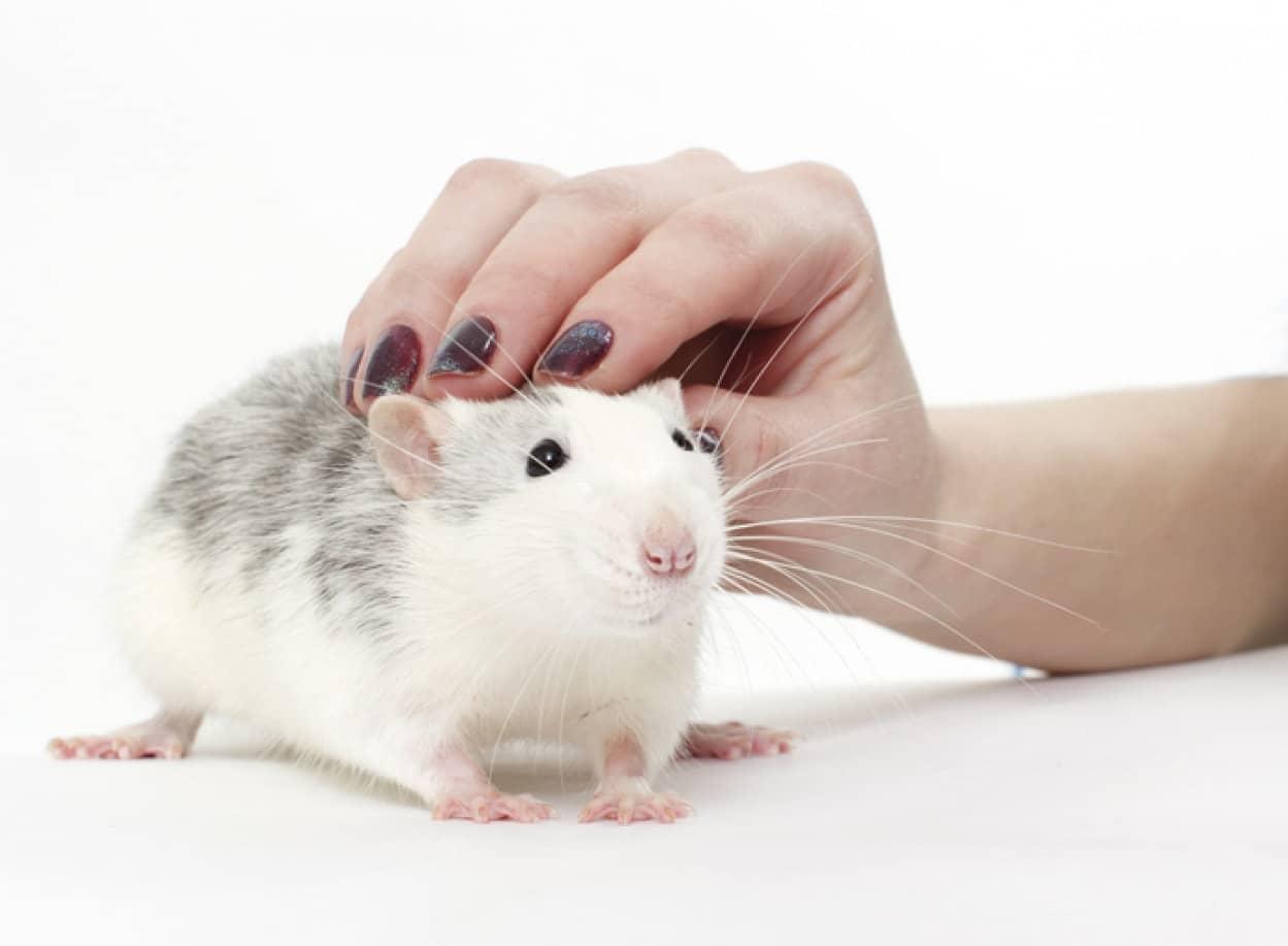 ネズミを実験に使う前にくすぐって笑わせリラックスさせる試み