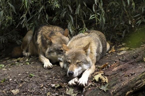 wolf-1384944_640_e
