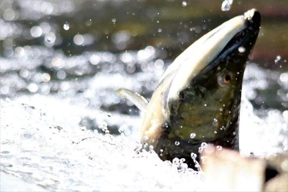 産卵のため生まれた川に戻るサケ