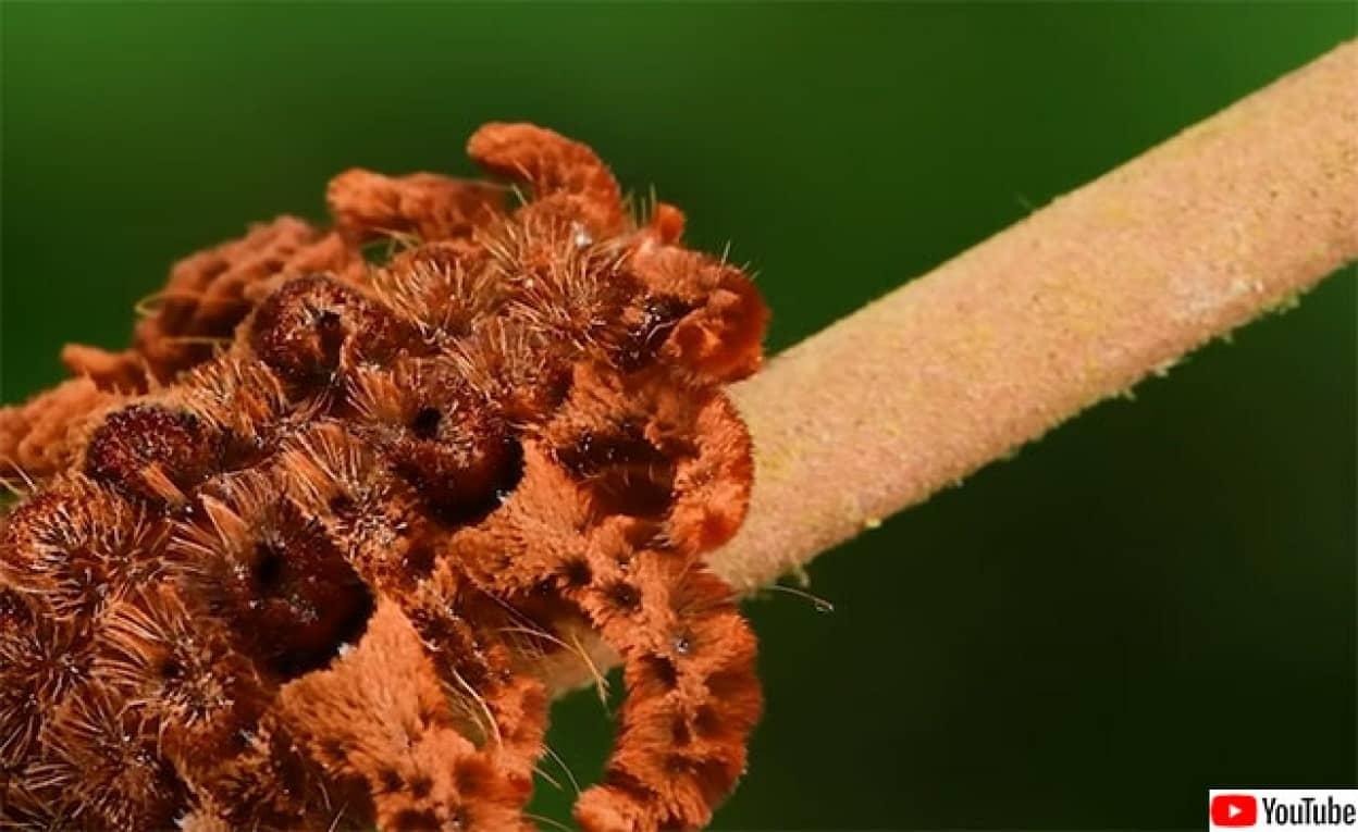タランチュラに擬態する毛虫、モンキースラッグ