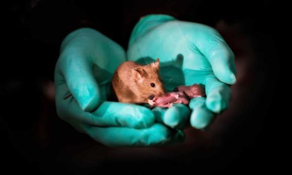 メス×メス、オス×オス。同性のマウスカップルから赤ちゃんを誕生させることに成功(中国)