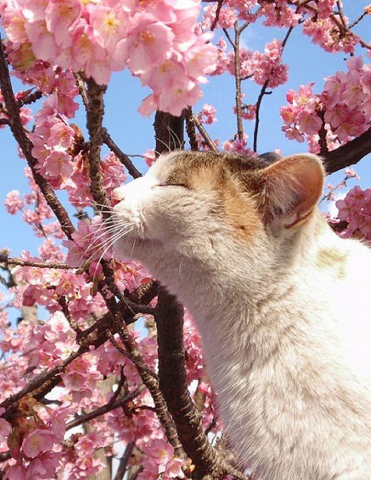 cherry_blossom_tree_cats_07