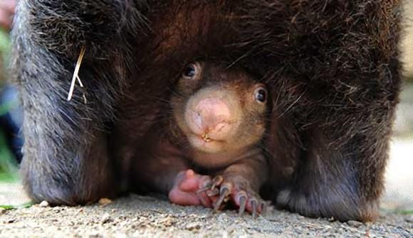 Wombat-Baby_e