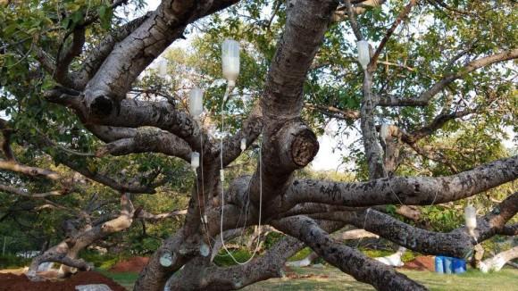 点滴で生き延びる樹齢700歳の巨木、ベンガルボダイジュ(インド)