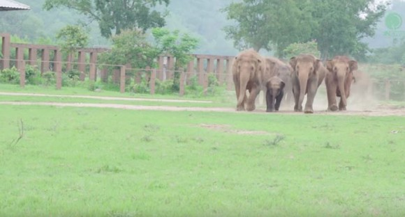 elephants-run-greet-new-rescue-baby-1_e