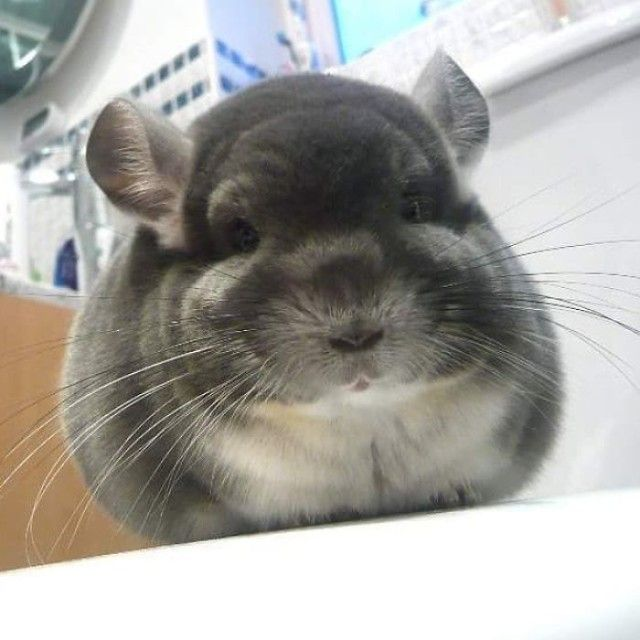 chinchilla12