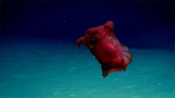 ヘッドレスチキン(首なしニワトリ)の異名を持つユメナマコが南極海ではじめて観測される
