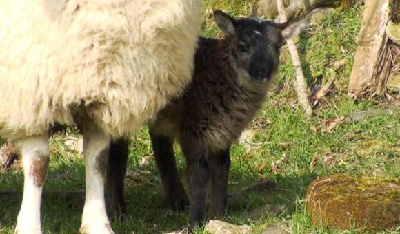 愛し合う羊とヤギ。異種愛の末、自然交配で生まれた、ヤギとヒツジ