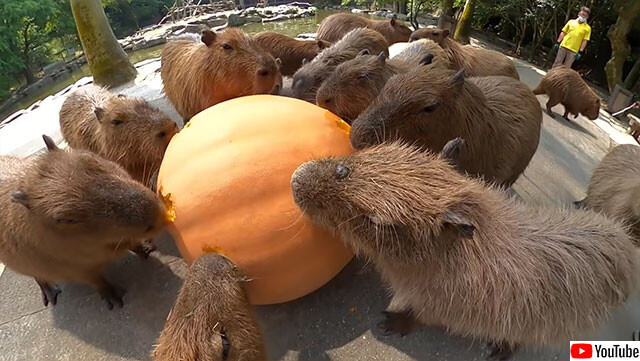 カピバラがかぼちゃを食べる時の咀嚼音が心地よい