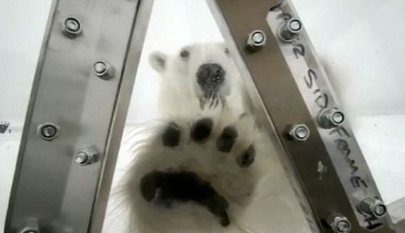 polar_bears_04_e