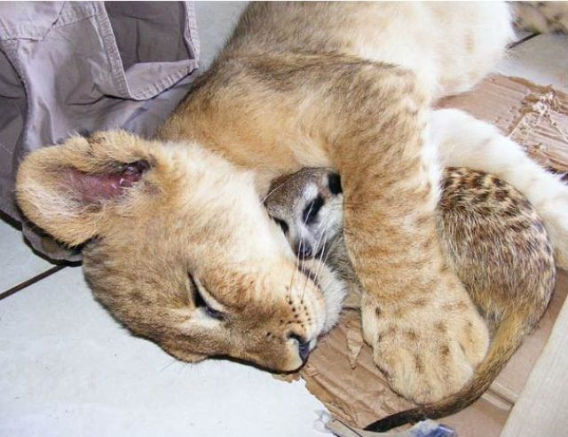 best_buddies_lion_640_02