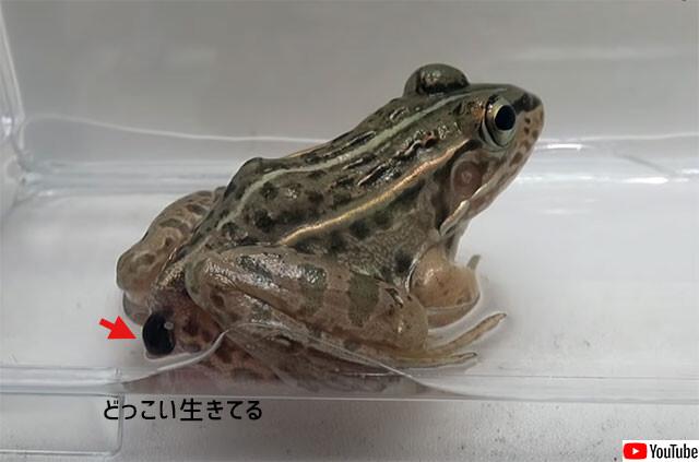 カエルに食べられてもお尻から脱出できる虫