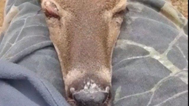 これどうしよう?膝枕で爆睡する野生のシカの甘えん坊っぷり
