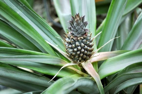 パイナップルの苗木が「いびき防止」に効果あり?NASAの研究がきっかけでイギリスのスーパーで激売れ中