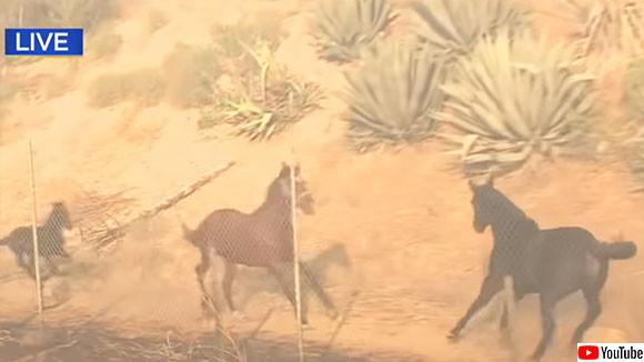 山火事で救出されたオス馬が、母馬と子馬を助けるため、危険が迫る火災現場へ戻っていく(アメリカ)