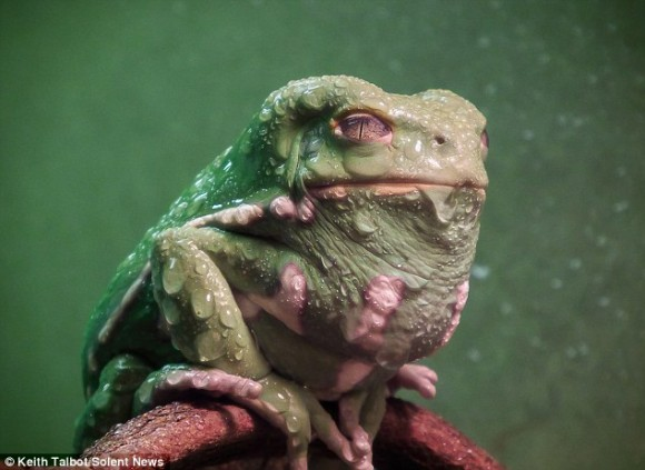 ネコメガエルが水滴を身に纏うとジャバザハットとなーるぅ。