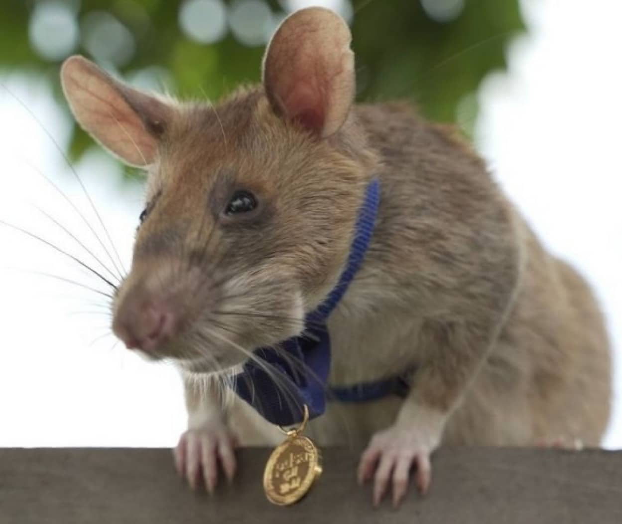 地雷撤去作業で多くの人間の命を救った英雄のネズミが引退へ