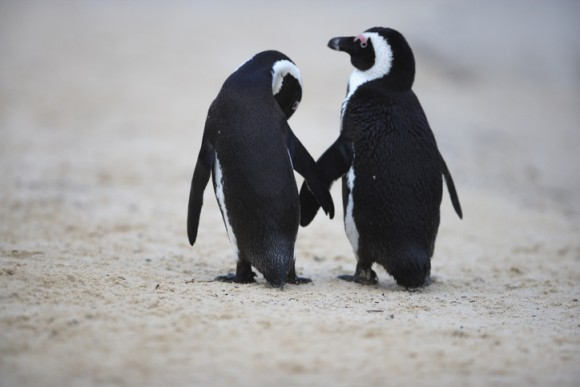 ペンギンは人間と同じように話す。その鳴き方は人間と同じ言語法則だった(フランス・イタリア共同研究)