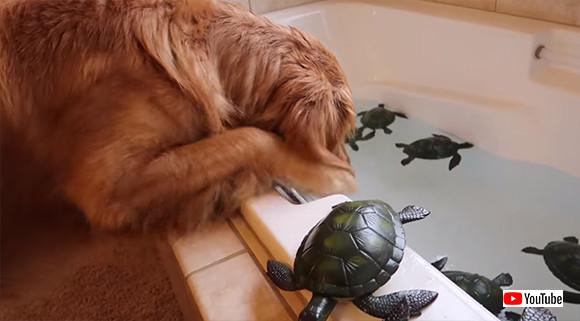大量の亀と一緒にお風呂!ゴールデンレトリバーのワクワクタイム