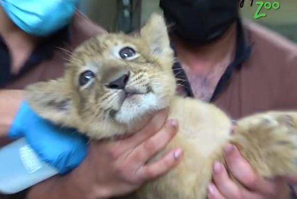 人工授精で生まれたライオン