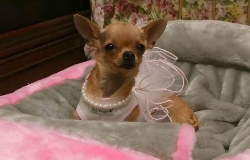 Conchita-the-Chihuahua-gail-posner_e