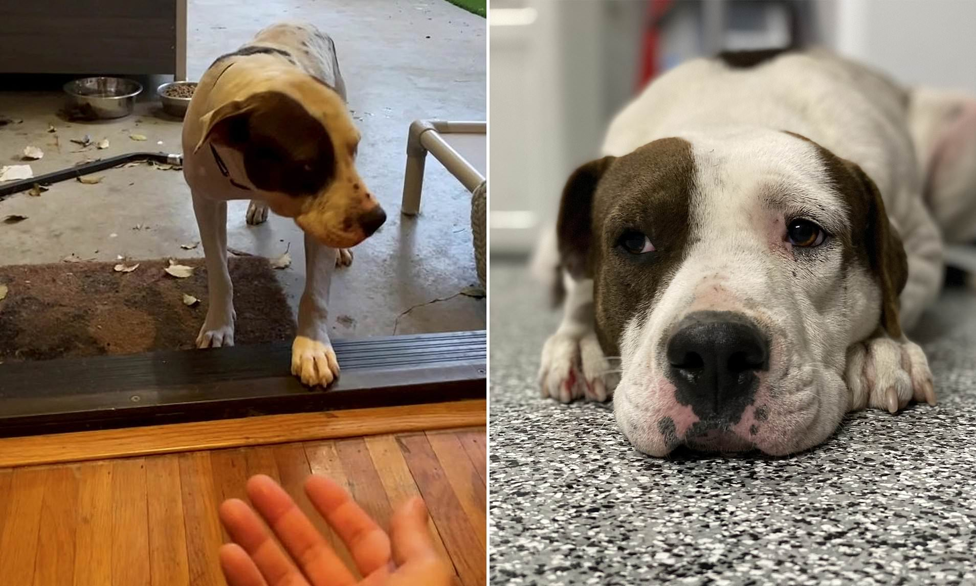 人が怖くて家の中に入れない...悲しい過去を持った保護犬ブーマーの物語(アメリカ)