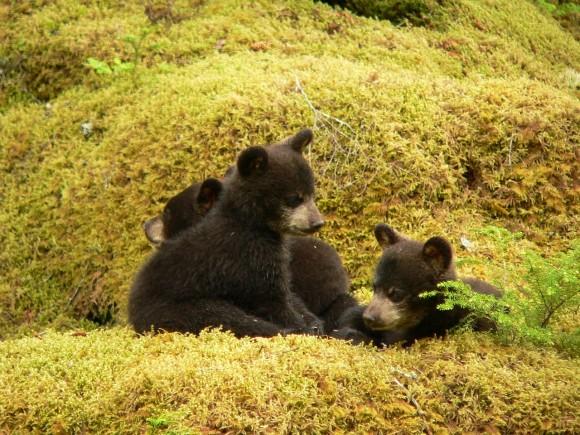 black-bears_pixabay