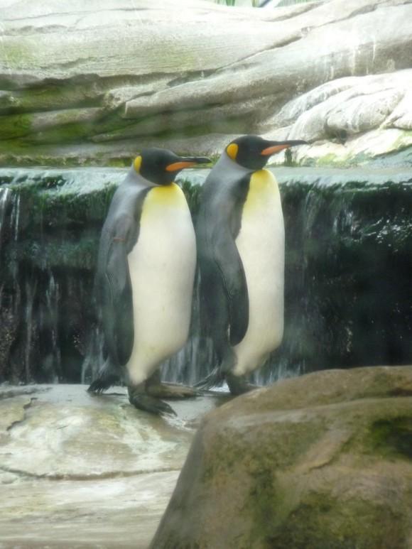 繁殖計画の為に連れてこられたペンギンだったがオス同士でカップルに。ゲイ専用の動物園にお引越し(ドイツ)