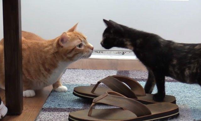 先住猫と新入り子猫を上手にいっしょにするためのアレコレ~コール&マーマレードの場合