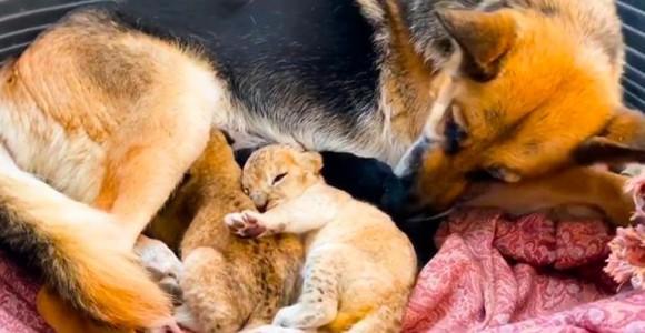 ジャーマンシェパード、子ライオンを育てる