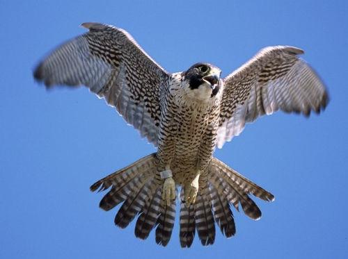 「はやぶさ 鳥」の画像検索結果