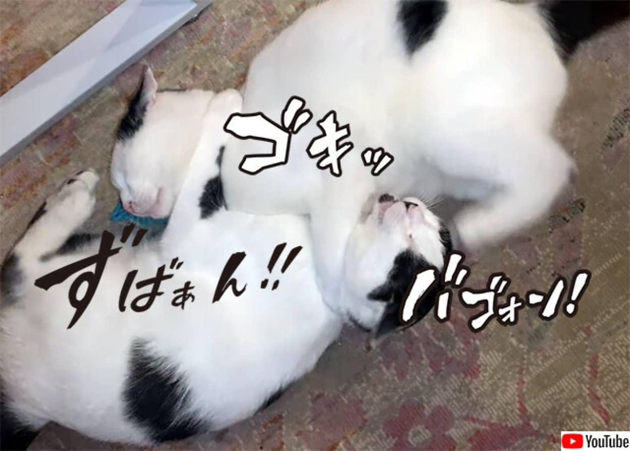 きょうだい猫が寝技プロレス